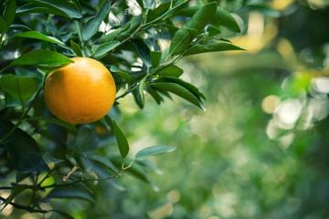 fresh orange on tree