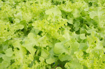 Soft focused picture of  green lettuce in the hydroponic garden farm with sunny light