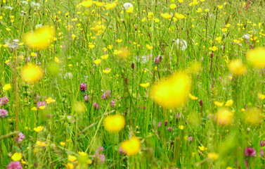Beautyful blooming flowers bakcground. An alpine meadow in springtime