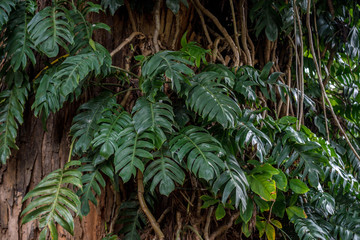 Big green leaf of Monstera plant