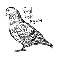 feral rock pigeon - vector illustration sketch hand drawn with black lines, isolated on white background