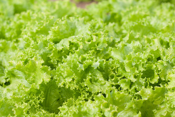 abstract Background green leafy vegetables. lettuce.