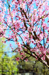 Blooming cherry tree branches against