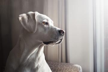 Junger reinrassiger weißer labrador retriever hund schaut aus einem Fenster