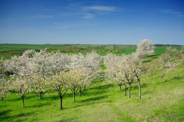 Wall Mural - Blühende Kirschbäume, Blick über Streuobstwiese im Frühjahr