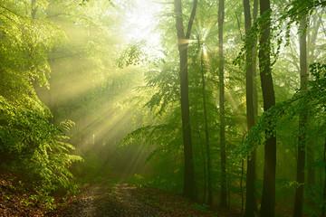 Buchenwald im Frühjahr, Sonnenstrahlen scheinen durch Morgennebel und verzaubern den Wald