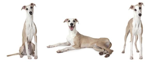 Whippet dog over white