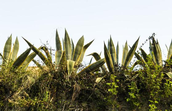 Beautiful agave americana plants in a terrace