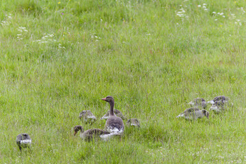 Greylag Goose with goslings