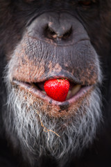Chimpanzee face, close up, strawberry in mouth