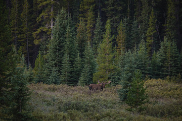 Moose standing in woodland