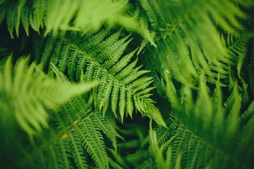 Fern leaves, full frame