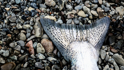Close-up of fish tail on pebbles