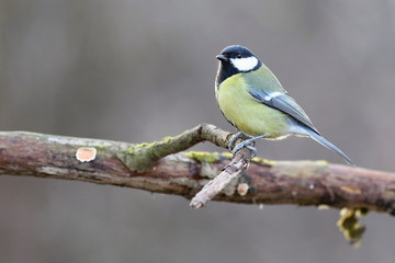 Parus major, Blue tit . Wildlife landscape, titmouse sitting on a branch moss-grown..  Europe, country Slovakia.
