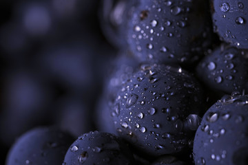 Close up, bunch of dark grapes with drops of water