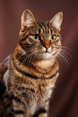 Scottish Straight cat - scottish cat with straight ears