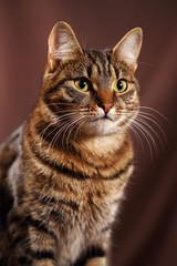 Scottish Straight cat - scottish cat with straight ears