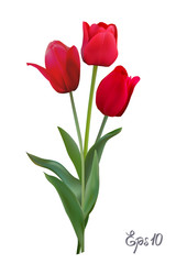 Red Tulips isolated on white background close up.