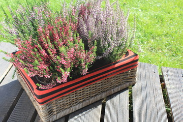 heather in a wicker basket in the garden on a sunny day