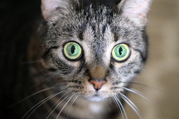 Portrait of a brown female cat staring with bright green eyes