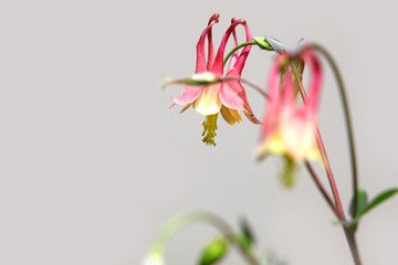Close up shot of red columbine flowers