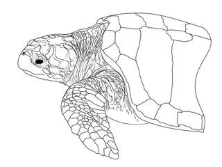 A line drawing of a Loggerhead Sea Turtle