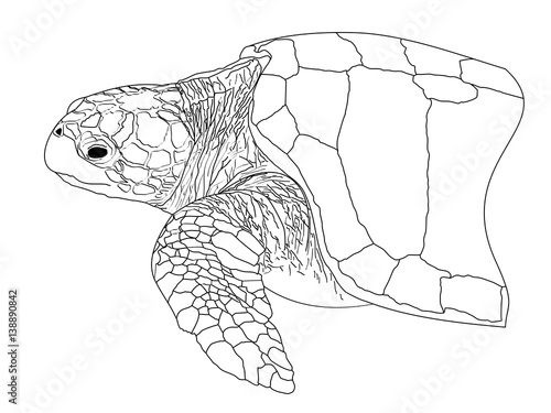 Line Drawing Sea Turtle : Quot a line drawing of loggerhead sea turtle stock photo