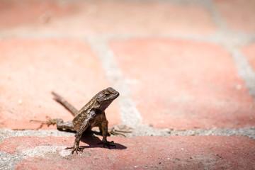 Lizard on a red brick sidewalk.