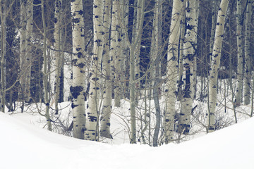 grove of aspen trees in the Utah Wasatch mountains