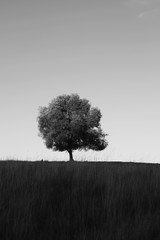 Tree in Field Black and White