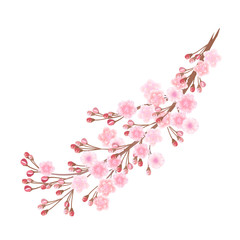 Sakura flowers. Hand drawn vector realistic  illustration of blooming sakura branch with buds on white background, watercolor imitation.