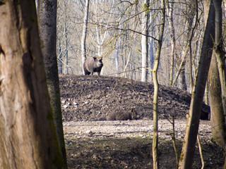 Wildschwein im Auwald