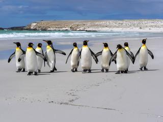 King penguin, Aptenodytes patagonica, Volunteer Point, Falklands / Malvinas