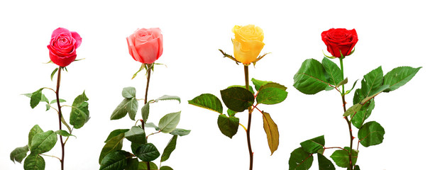 colorful roses isolated