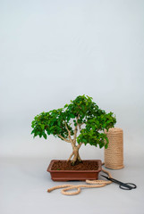 Bonsai in a ceramic pot on a light gray background.