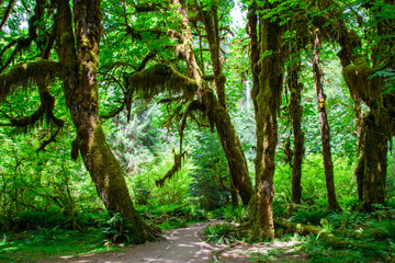 Trail in the Hoh Rain forest, Olympic National Park, Washington USA