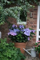 Hydrangea macrophylla blau Tellerhortensie Dekortopf Zoro 2
