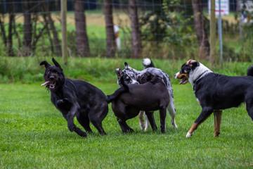 Sennenhund, Boxer, Australian Shepherd, Mischling Schnauzer beim Spielen