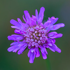 Macro photo of a purple flower with dew drops. View from above. The background is blurred