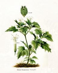 Jimsonweed (Datura stramonium) (from Meyers Lexikon, 1895, 7/568/569)