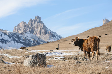 Caucasian bulls and cows on the mountain pastures in the tract near Mount Elbrus on a background of beautiful rocks