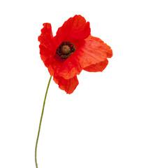Foto auf Leinwand Mohn bright red poppy flower