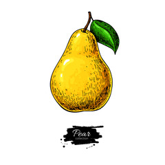 Pear vector drawing. Isolated hand drawn object on white backgro