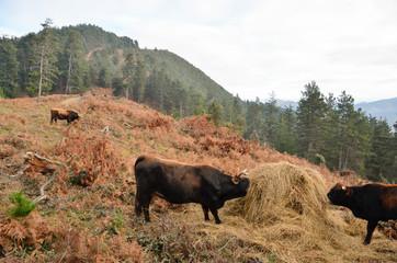 Cows grazing, euskadi