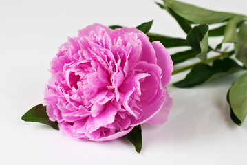 Pink peony in water drops