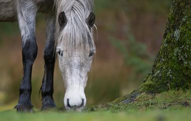 Dartmoor Pony.