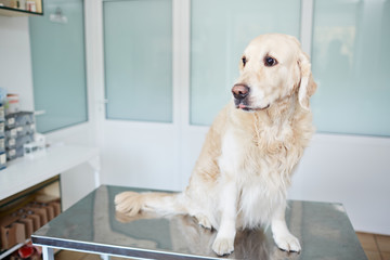 Portrait of cute labrador sitting on table and waiting for medical check-up