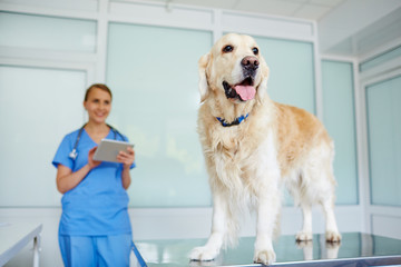 Fluffy healthy retriever standing on vet table with its tongue out while female doctor watching at him with satisfaction