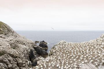 Northern Gannet (Morus bassanus) colony, in flight and nesting on cliffs, Saltee Islands, Ireland