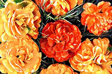 Pions flowers illustration